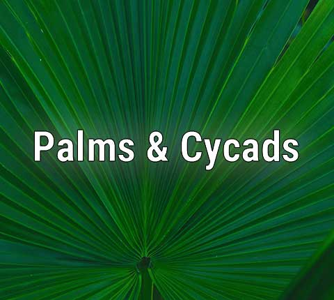 Palm trees and Cycads
