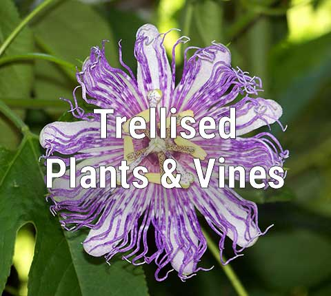 Trellised Plants and Vines